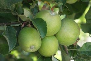 C mo cuidar un jazm n - Como cuidar los arboles frutales ...